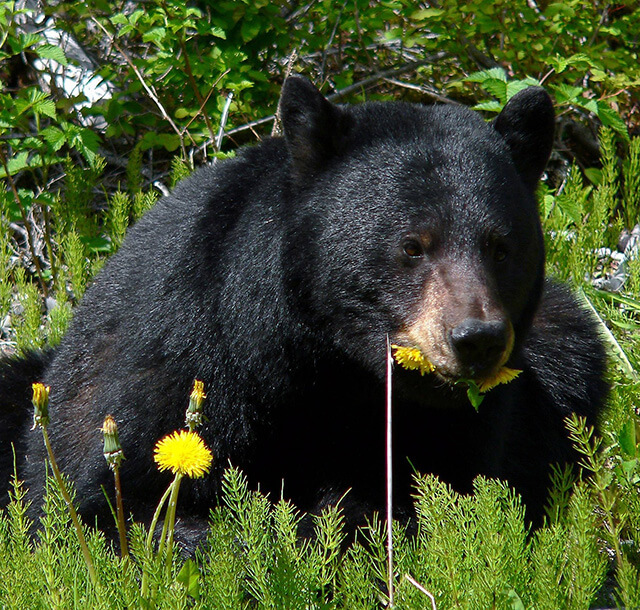 Unguided bear hunts Maine