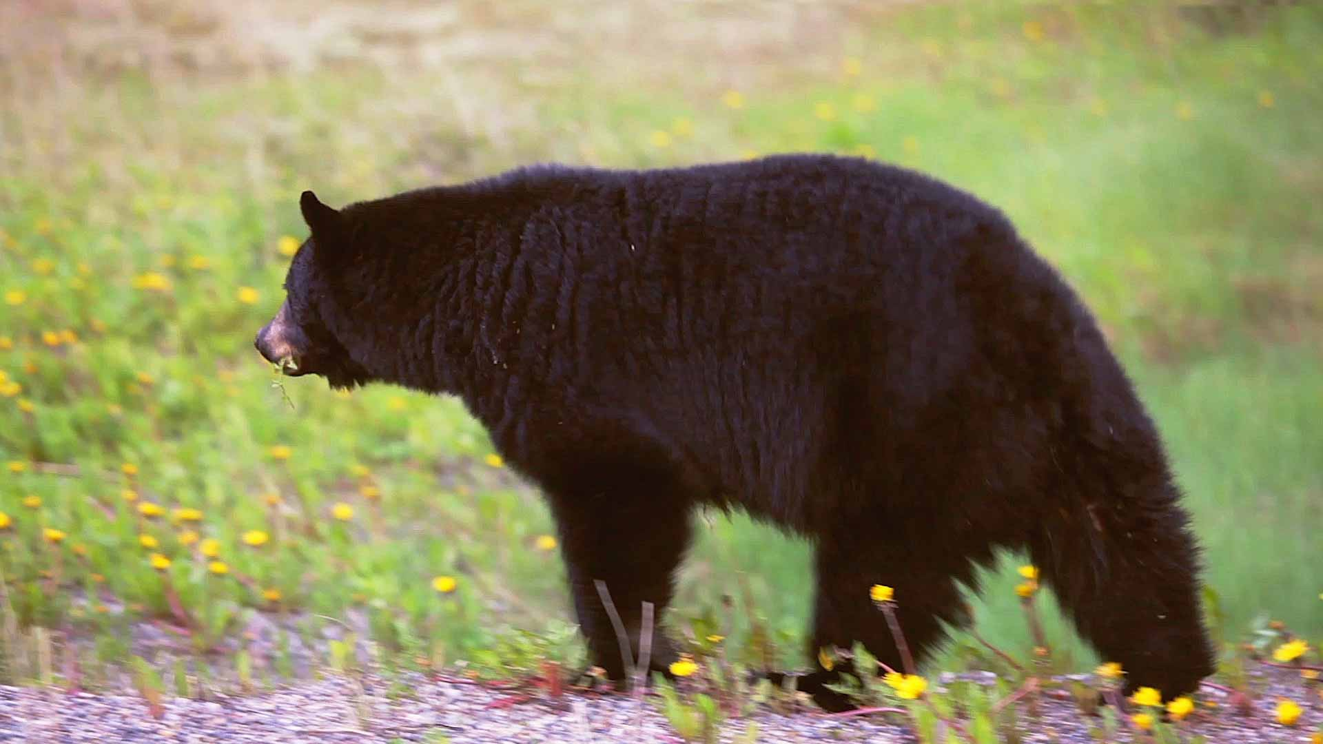 Black bear in Maine walking in field